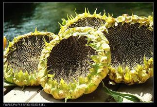 1、向日葵因其生长快速,易吸收土壤中的重金属铅、镉、镍