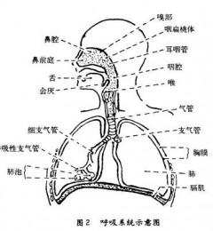 老年人更易患呼吸道疾病的原因