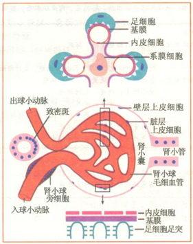 (图1-2 肾小球正常结构示意图)