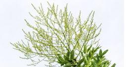 欣哒哒分享植物粉19味祛湿健脾养胃配方