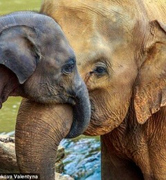 """研究发现大象体内的""""僵尸基因""""是抗癌关键"""