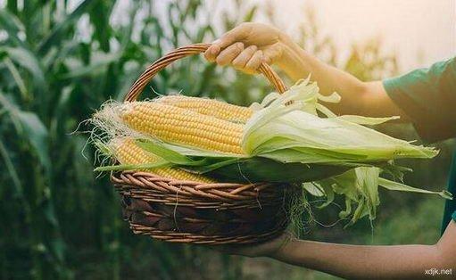 喝玉米须茶减肥小心可能会造成电解质失衡