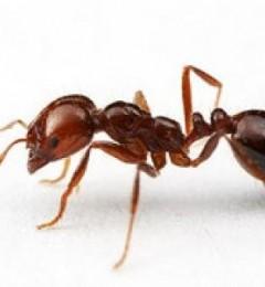 红火蚁已传播迅速 被红火蚁咬到该如何自救?
