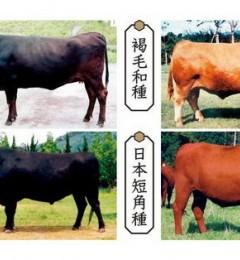 和牛为何贵 你又知道和牛A5级吗?