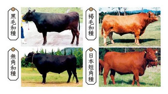 神户牛肉为何贵 你又知道和牛A5级吗?